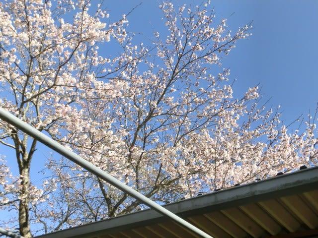 大屋根の脇の桜