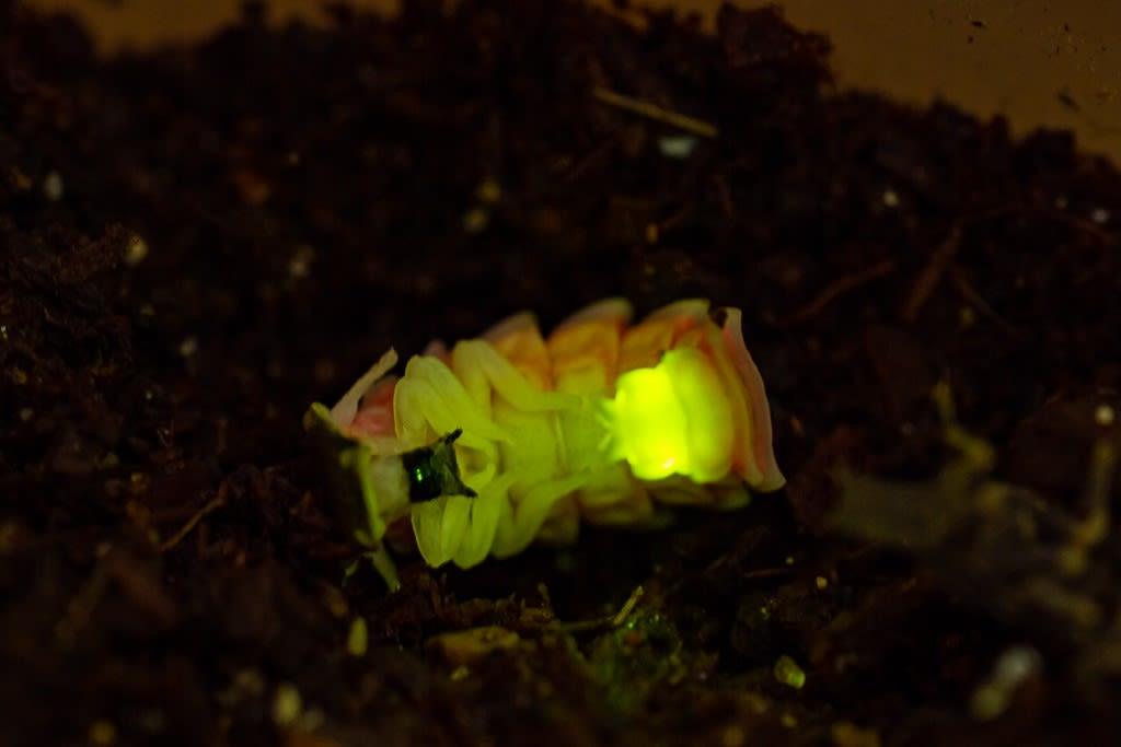 クロマドボタル(蛹の発光)
