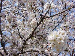 近所の桜が満開