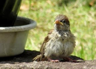 が 黄色い くちばし オオワシ|日本の鳥百科|サントリーの愛鳥活動