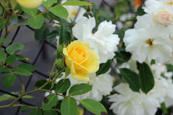 湘南ふじみ霊園バラ