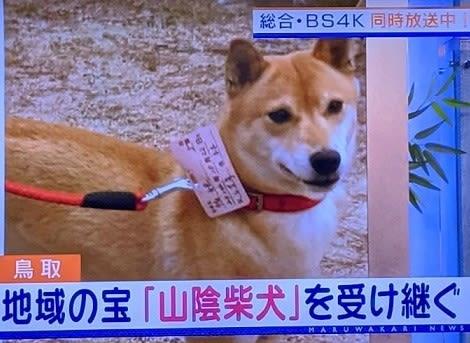 山陰 柴犬