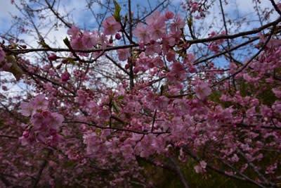 古田のカワヅサクラの花
