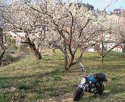 梅が満開!!