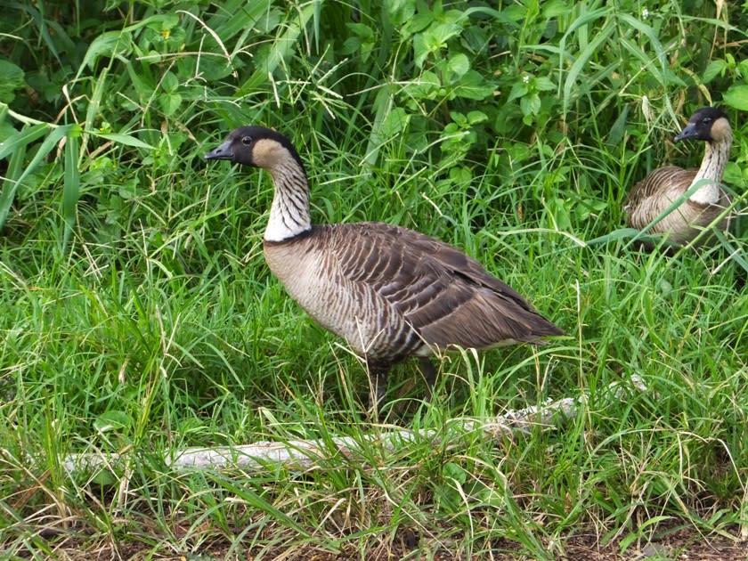 """ハワイの州鳥は、ご存じ""""ネネ""""です。 ネネ(ハワイガン・Branta sandyvicensis)は、カモ目カモ科コクガン属に分類されるハワイ 固有種の鳥類です。"""
