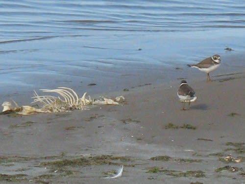ミズカキ千鳥と大きな魚の骸骨