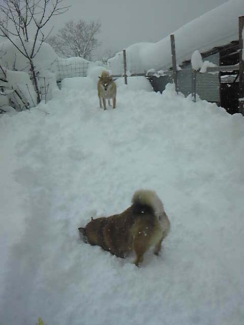 大雪(おおゆき) - ヤギのメイちゃん&柴犬ルンルン&ソラ君&ラン ...