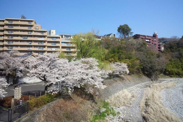 青梅・釜の淵公園の桜2019/4/6午前現在 - あられの日記