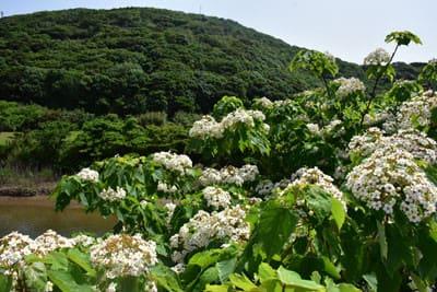 アブラギリの開花