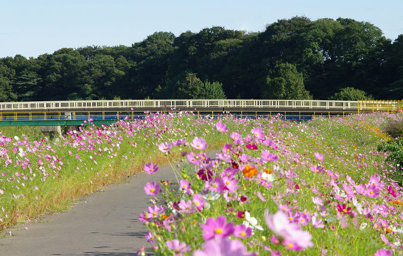 コスモス街道 (埼玉県富士見市) - めいすいの写真日記