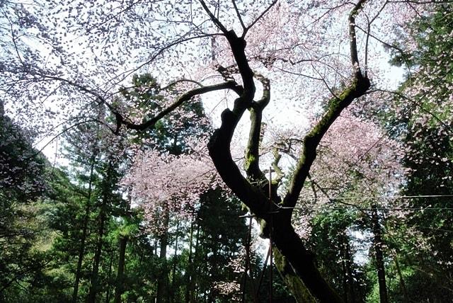 野ねずみ山日記 春の福智山で満開の虎尾桜に遭遇 - 帰りたい空