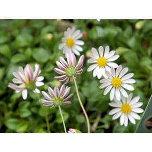 Gardenkonohana_pebilian07041