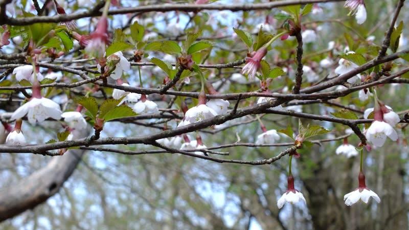 山桜でしょうか?