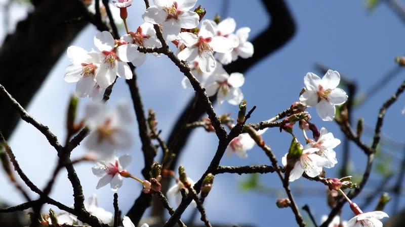 陽光を浴びる山の桜
