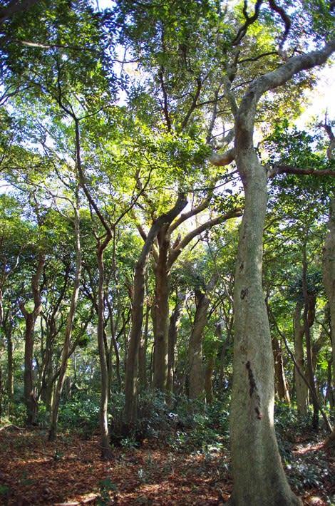 鹿島の森樹叢