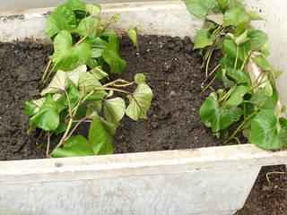サツマイモの苗を仮植え - 畑・...