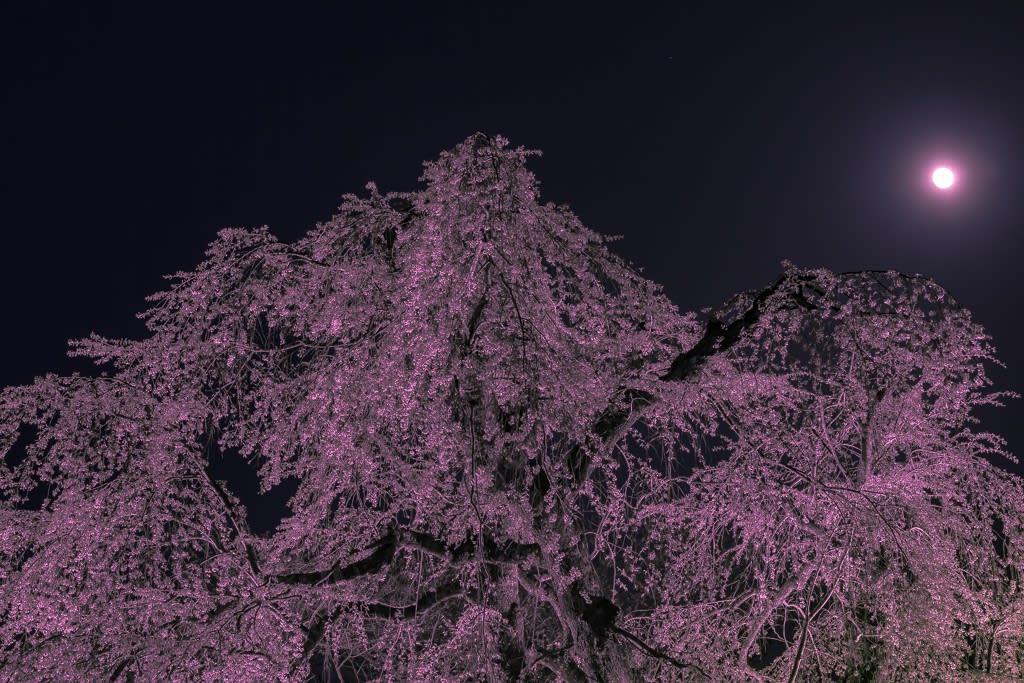 貞鱗寺のしだれ桜の写真