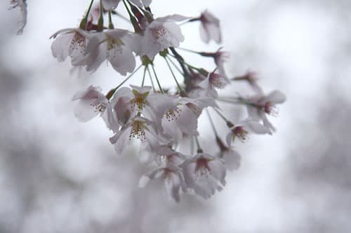 Sakura0805