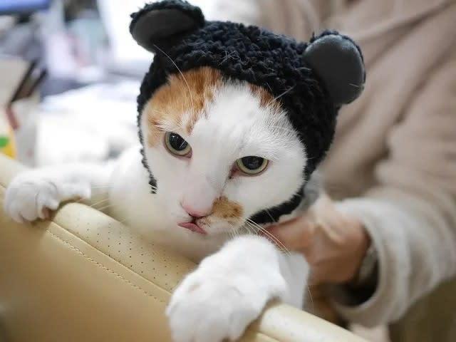 クマ耳の猫とはいかに?