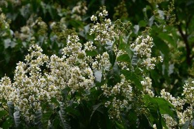 シマサルスベリの密に咲かせた純白の花
