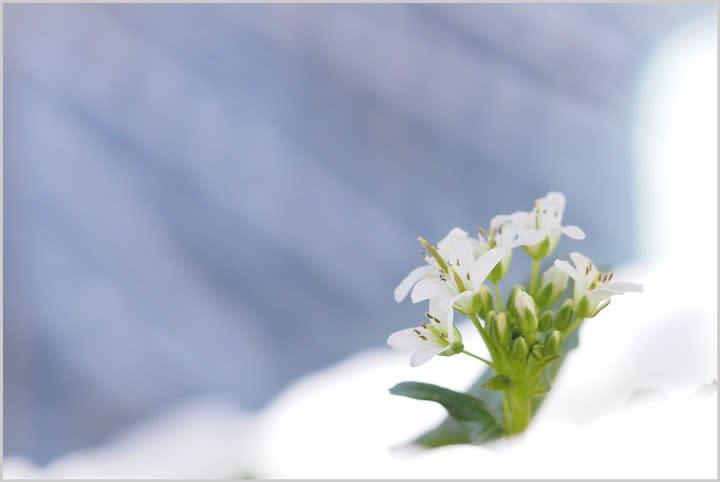 わさびの花