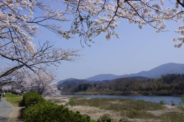 度会町「宮リバー度会パークの桜」見てきました〜(^^)  2018