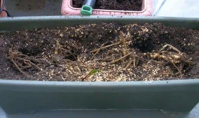 植えたばかりのプランター