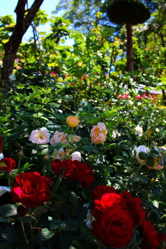 那須烏山市 横枕 個人のお宅のバラ園 28.6.2 - 栃木の木々