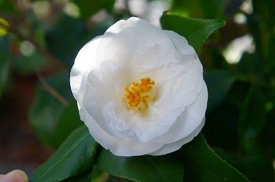椿・枝変わり - hiroの花便り