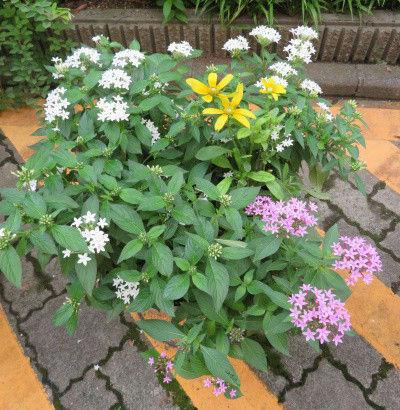 ペンタスと黄色い花