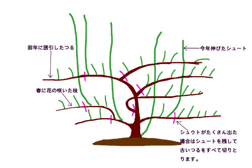 モッコウバラの剪定で切るべき枝と残すべき枝はど …