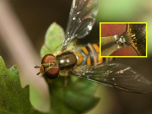 昆虫複眼の複眼的考察