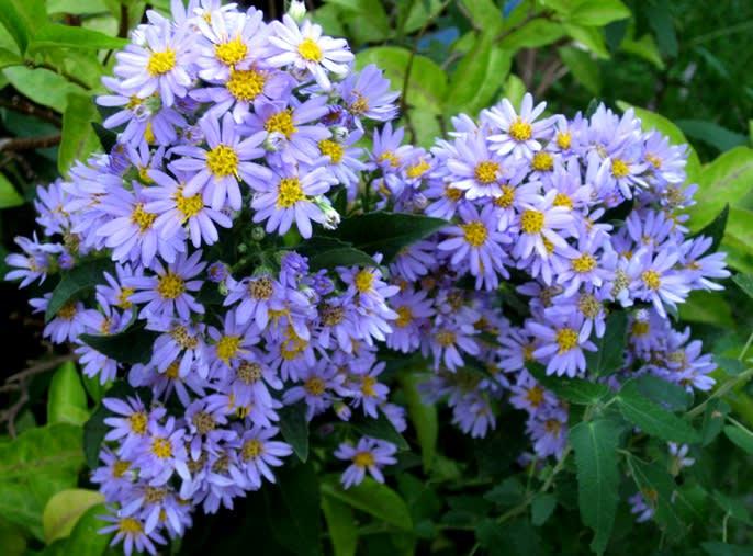 花 言葉 紫苑