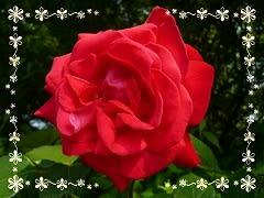 赤いバラ・フォント枠