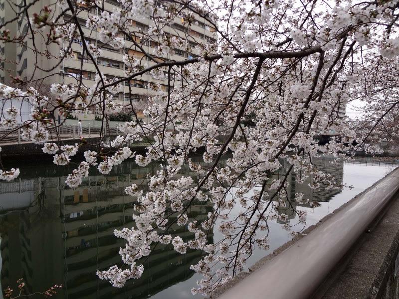 Almost_full_blossom