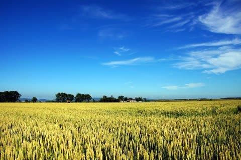 小麦畑_美しい日本 麦畑2 - どっこいしょ と.