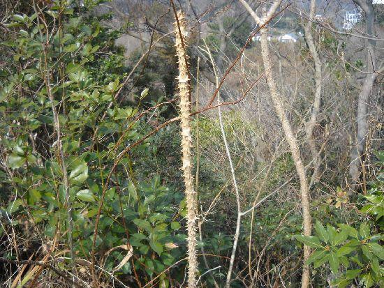 タラ の 木 増やし 方 タラノキの育て方!剪定方法や増やし方、たらの芽の栽培方法をご紹介...
