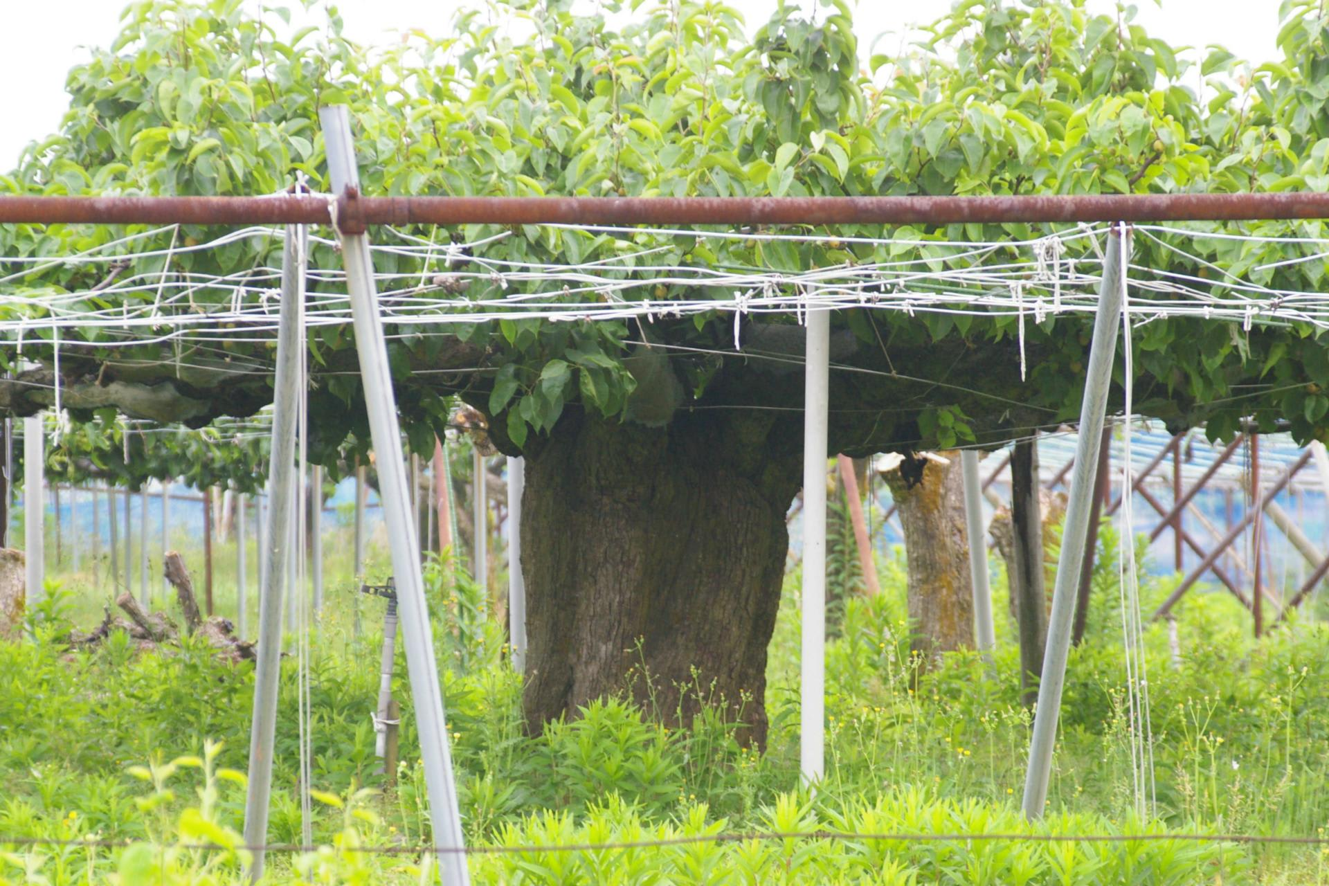 新潟県新潟市南区、月潟の類産梨(国指定天然記念物)です ...