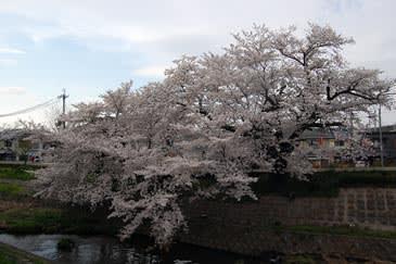 Sahoozakura