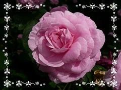 ピンクのバラ・フォント枠