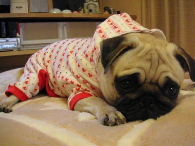 パグ 癒しのパジャマ
