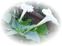 トランペットの花クリックするとアップの花