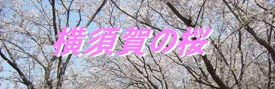 横須賀の桜