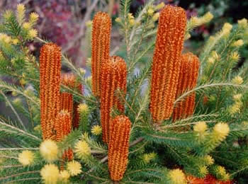 Banksia_pic011