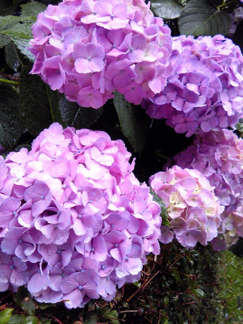 雨に打たれる紫陽花。