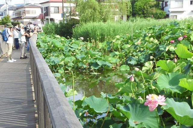 鵠沼の蓮池開花情報2017/7/16現在 - あられの日記