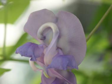 Snailflower011