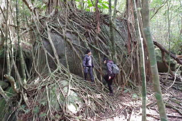 屋久島ガジュマルの樹