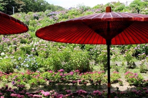 蒲郡市・「形原温泉あじさいの里」の紫陽花を - 人生散策日記