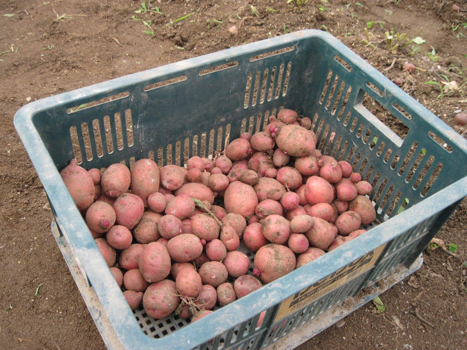ジャガイモ収穫・1の画像